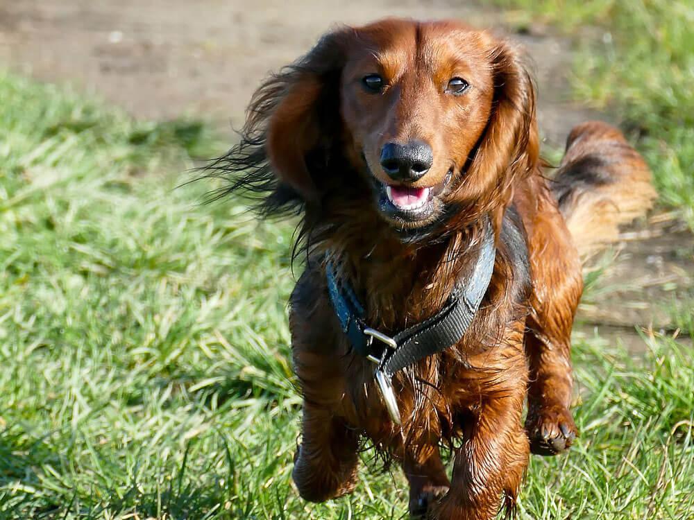 wire haired miniature dachshund