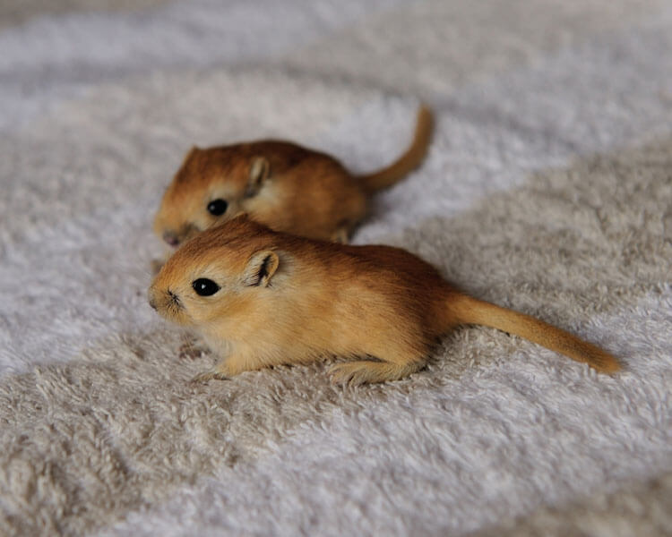 two young gerbils