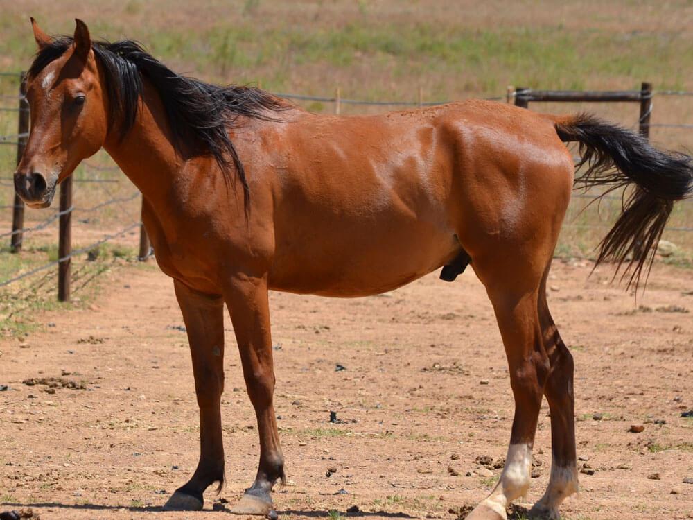 1st most popular horse breeds