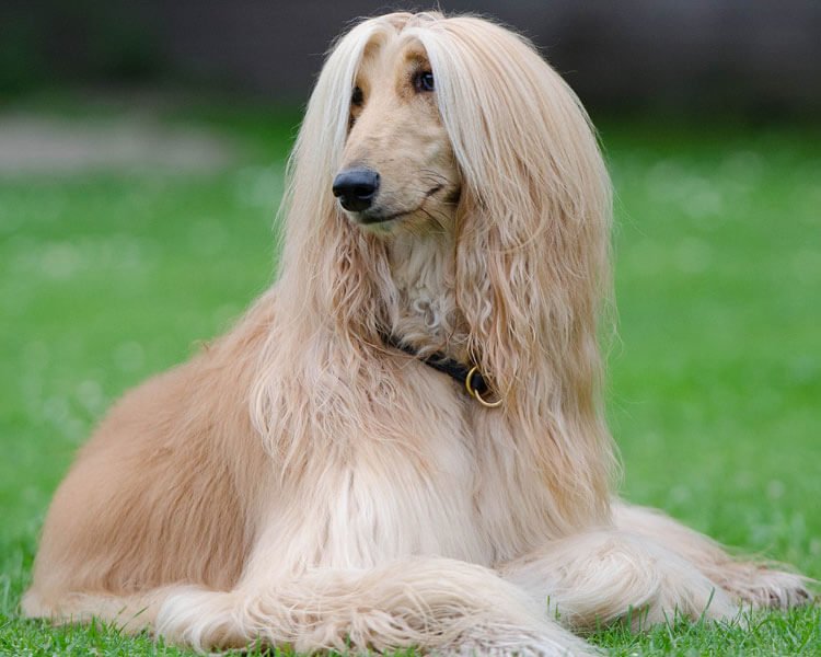 an afghan hound for dog breed review
