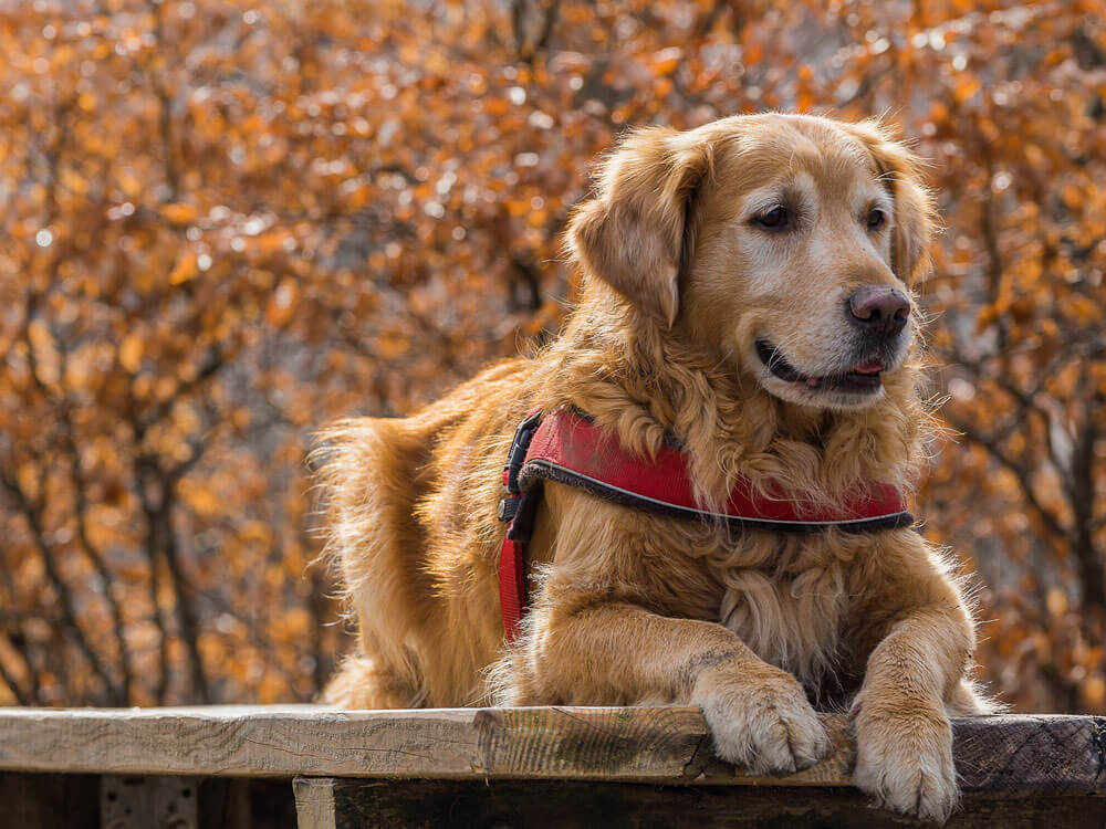 home remedies for alopecia in dogs