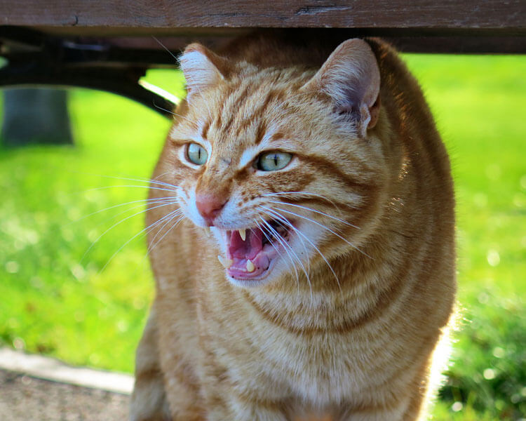 an angry cat under a bench