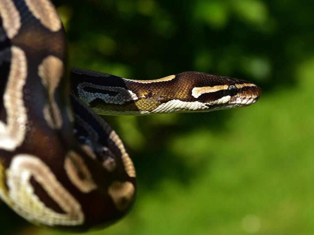 ball python, one of the best pet snake breed