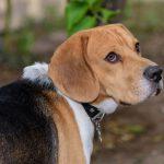 Beagle, one of the hound dog breeds