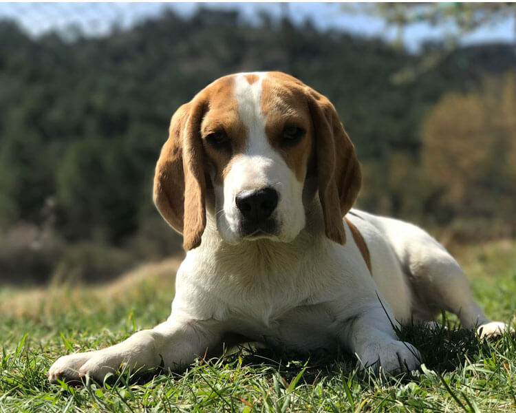 a beagle for dog breed review