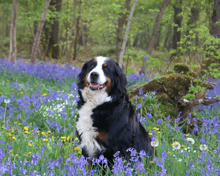 a bernese mountain dog for dog breed review