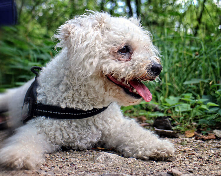 a bichon frise for dog breed review