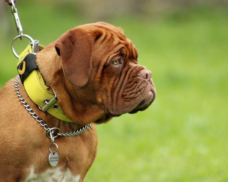 a mastiff for dog breed review