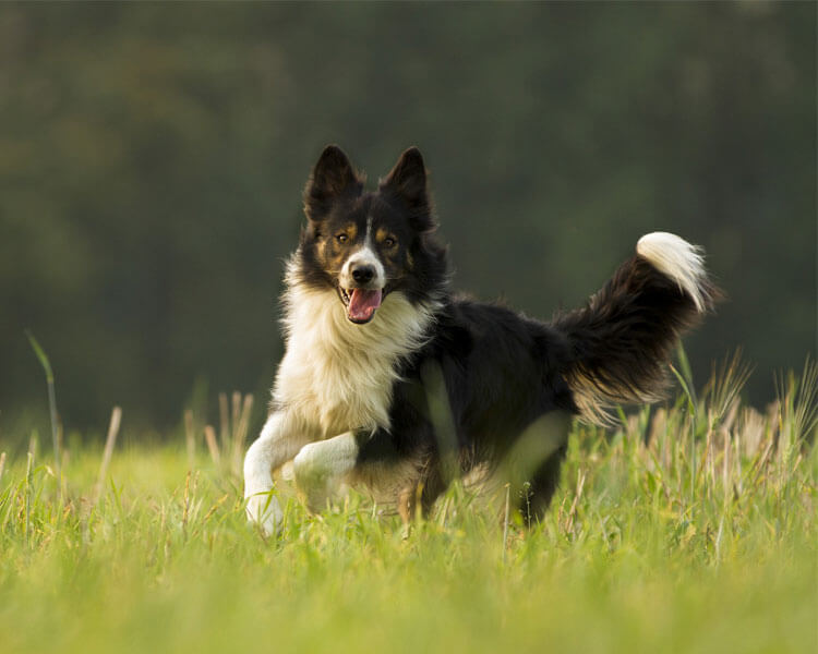 border collie for dog breed review