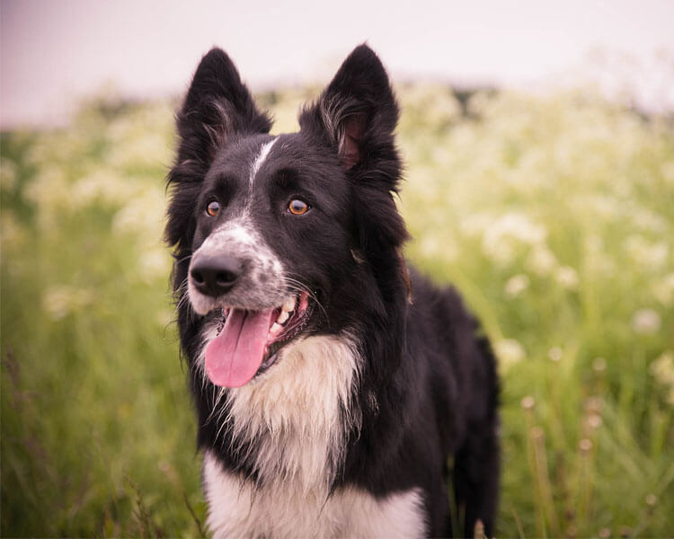 a border collie for dog breed review