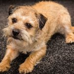 Border Terrier, one of the terrier dog breeds