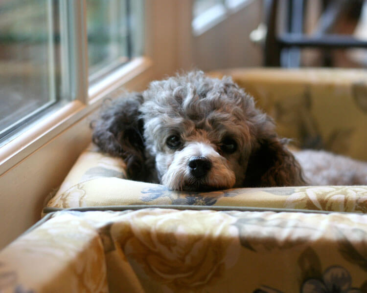 a bored toy poodle lying in a sofa