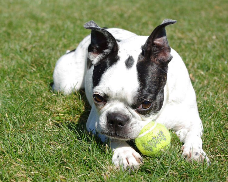 a boston terrier for dog breed review