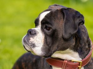 Guide to Breeding Boxer Dogs