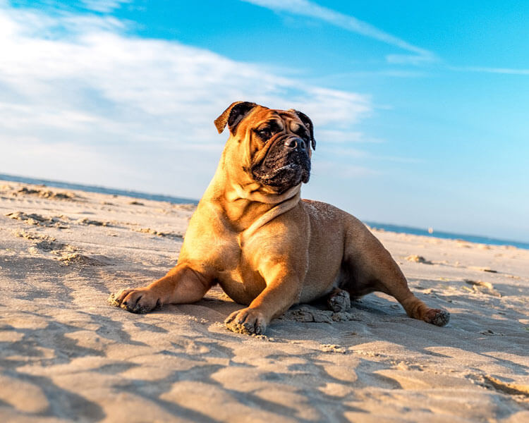 bulldog for dog breed review