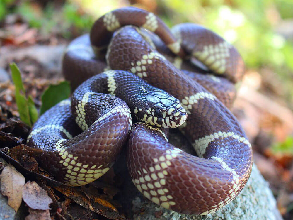 california kingsnake, one of the best breed of snake to have