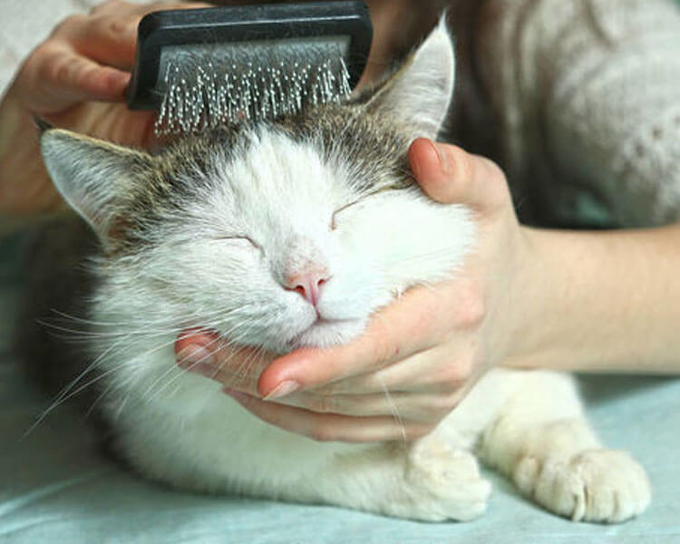 a cat's fur brushed using a comb by the woman