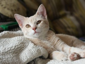 Cat Flea Allergy: Treatments and Home Remedies