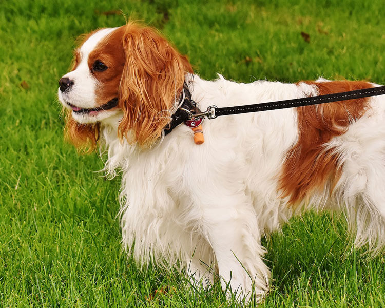 a cavalier king charles spaniel for dog breed review