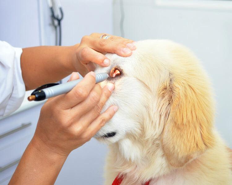 dog's eyes examined by a vet