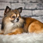 Chihuahua, one of the toy dog breeds