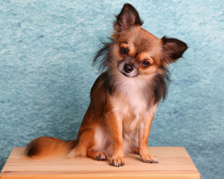 chihuahua for dog breed review