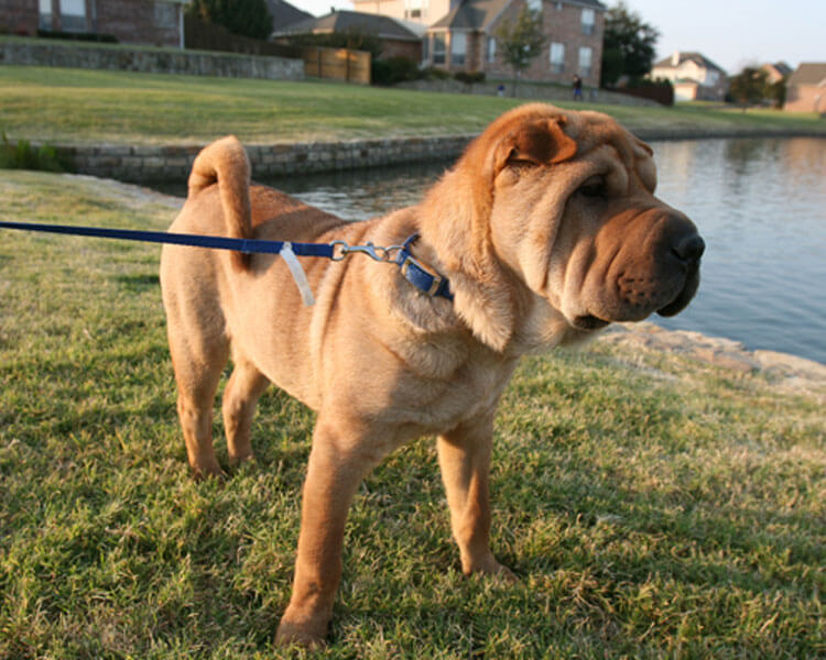 a chinese shar pei for dog breed review