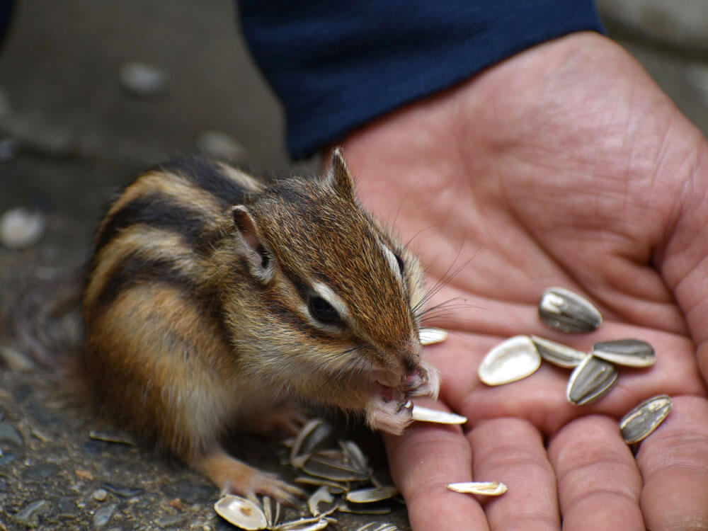 a chipmunk eating sunflower seeds in a person's hand