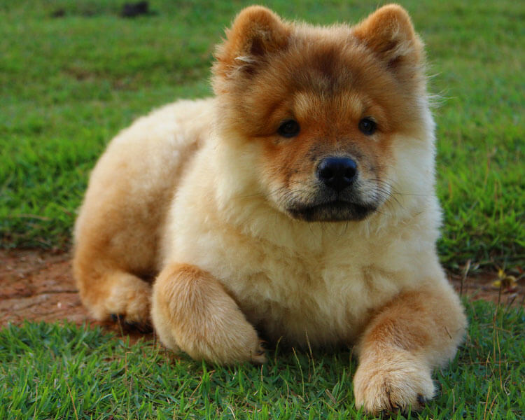 a chow chow for dog breed review