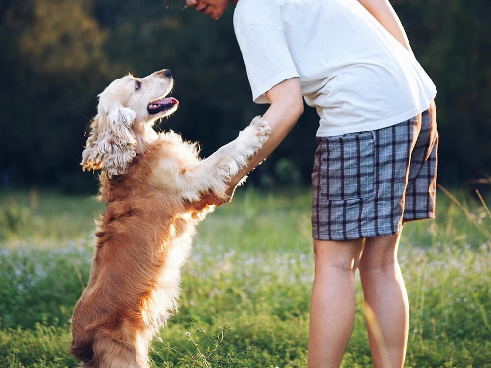 cocker spaniel with owner