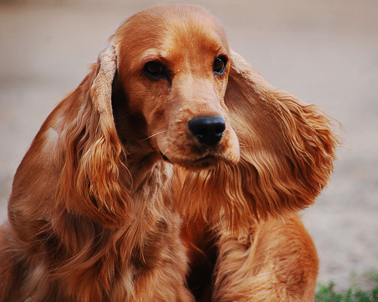 a cocker spaniel for dog breed review