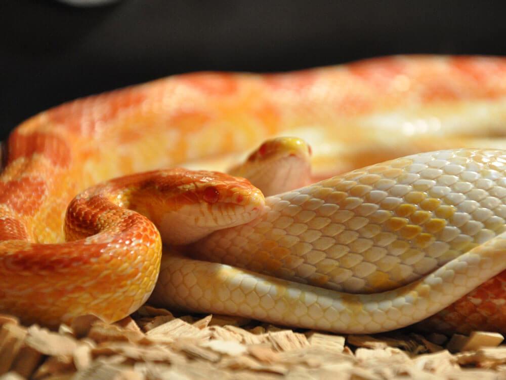 corn snake, one of the best pet snake