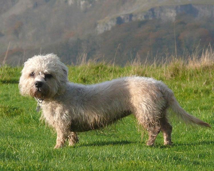 a Dandie Dinmont Terrier walking in the grass