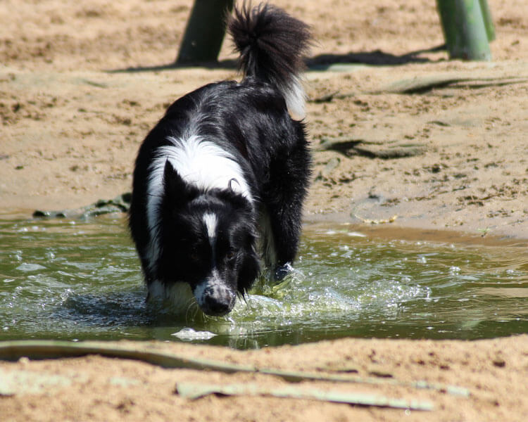 dog drinking a contaminated water