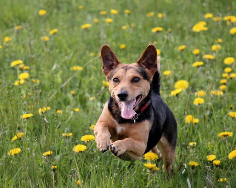 a dog running quickly in the grass field