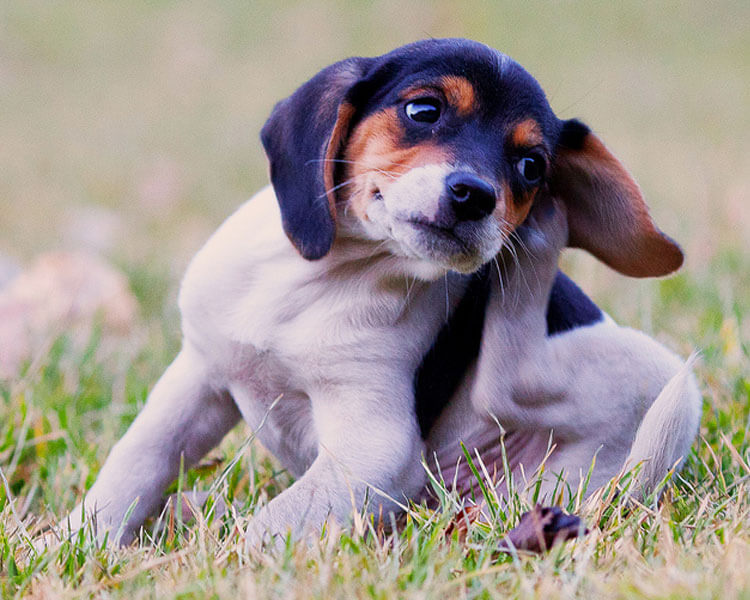 a puppy scratching its ear due to ear mites