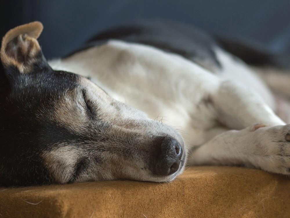 a sick dog sleeping