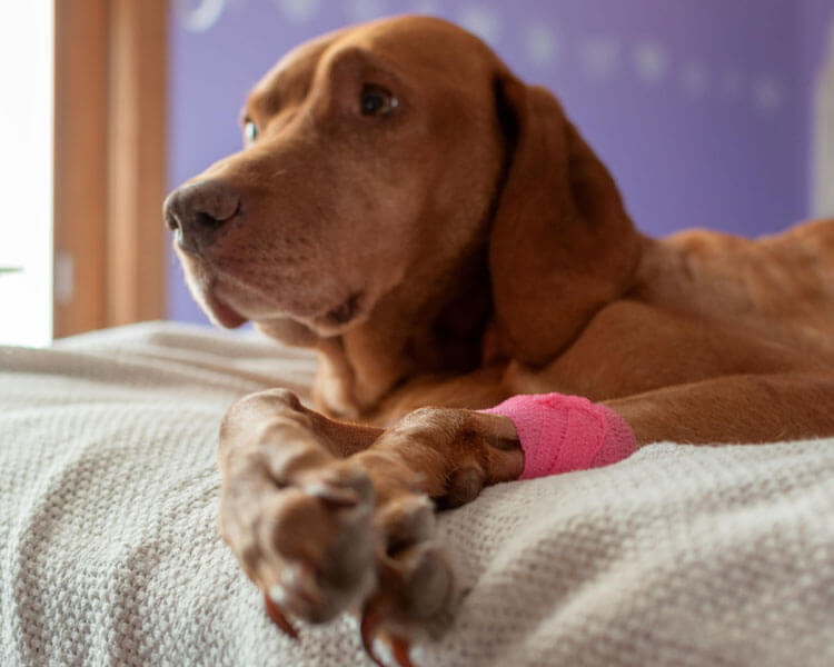 dog with bandage lying in bed