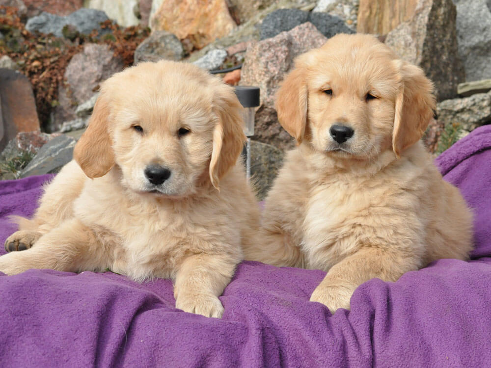 Dogs for Sale – To Buy, To Adopt, To Rehome