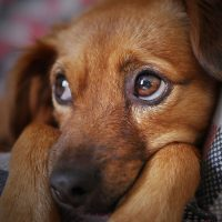 Dry Eye in Dogs - Causes, Symptoms and Treatments