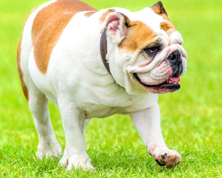 an english bulldog for dog breed review