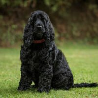 A Smart Guide to Cocker Spaniel Training