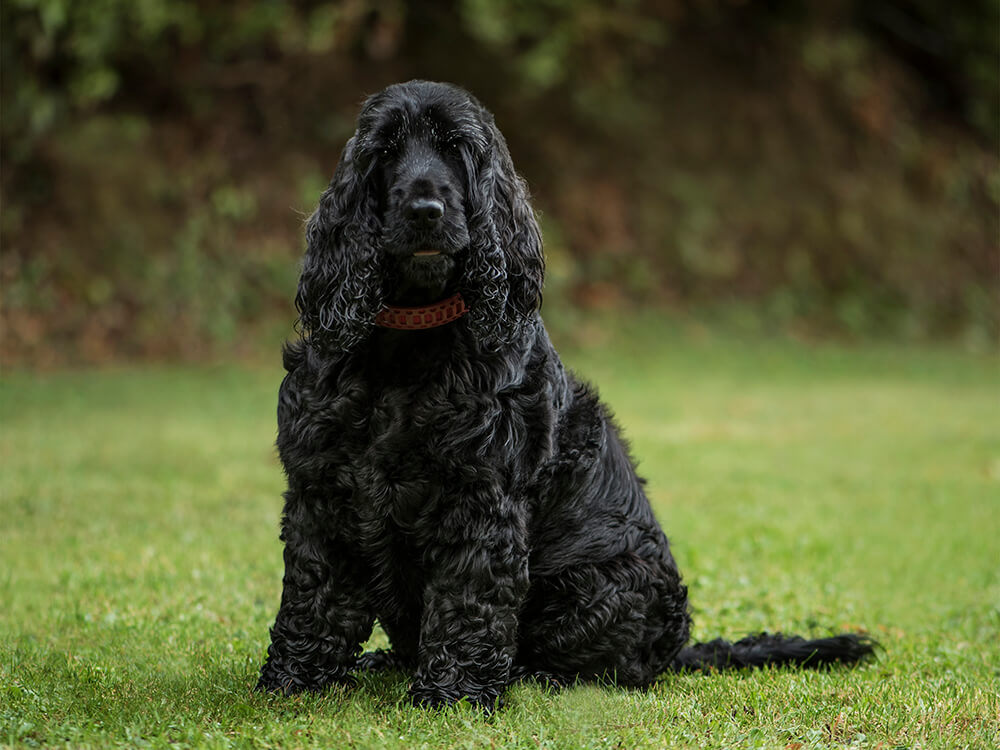 english cocker spaniel 3 years old in park