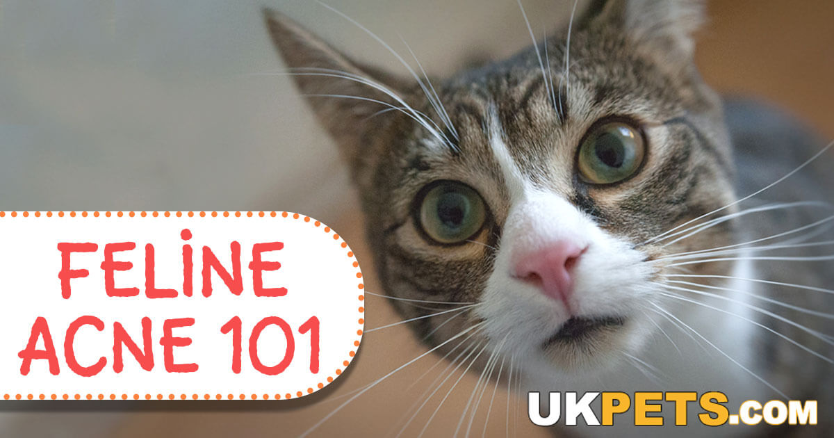 Treatments And Home Remedies For Feline Acne Uk Pets