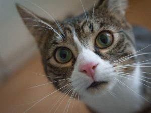 Treatments and Home Remedies for Feline Acne