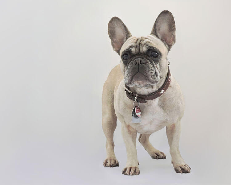 a french bulldog for dog breed review