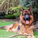 German Shepherd, one of the pastoral dog breeds