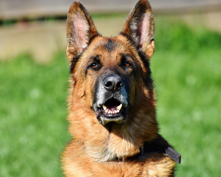 a german shepherd for dog breed review