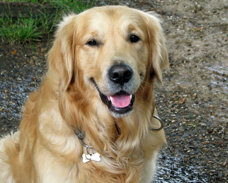 golden retriever for dog breed review