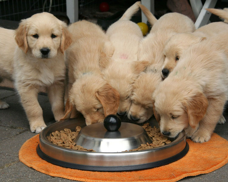purebred golden retriever puppies eating